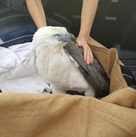 Sea Eagle  Somersby Animal Hospital