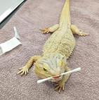 Chuck the Bearded Dragon  Somersby Animal Hospital
