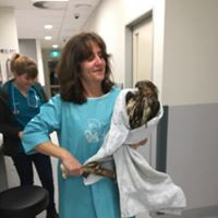 Wedged Tailed Eagle  Somersby Animal Hospital