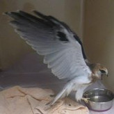 Falcon  Somersby Animal Hospital