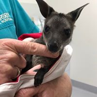 Swamp Wallaby  Somersby Animal Hospital