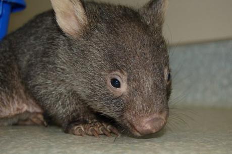 Wombat  Somersby Animal Hospital