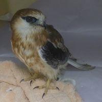 Falcon  Somersby Animal Hospital