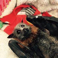 fruit bat  Somersby Animal Hospital