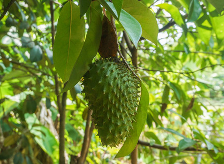 Soursop Leaves Health Benefits That You Should know For Prevention Of Many Diseases