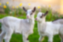 two-white-baby-goats-standing-on-green-l
