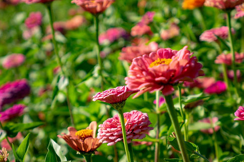 blooming-flowers-zinnia-in-the-summer-ga