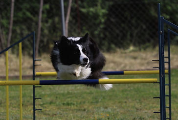 Blue County Cherish Hope, aka Layla, border collie madre de Kynagon Dear Darling propiedad de Azulian