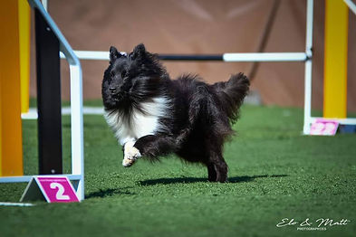 Newton du Grand Champ d'Aubertans Azulian E litter shetland sheepdog biblack agility