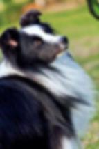 Shetland Sheepdog Bi black propiedad de Desert Meadow sheltie kennel