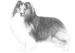 Shetland Sheepdog AKC