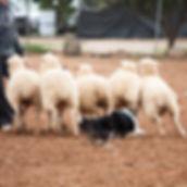 Shetland Sheepdog de Azulian pastoreando un rebaño de ovejas