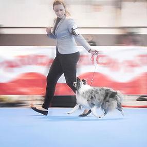 Shetland sheepdog bi blue merle de azulian participando en un show de belleza