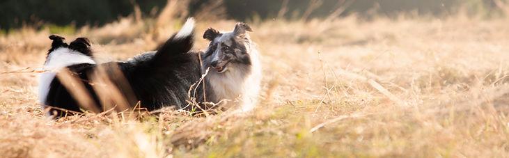 Pareja de Shetland Sheepdogs bicolores