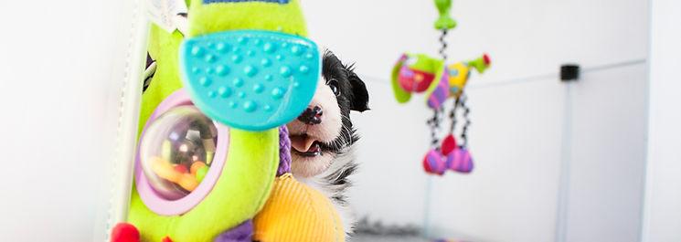 Cachorro de Sheltie biblack del afijo Azulian jugando