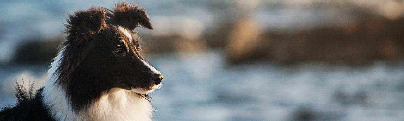 Azulian Bang Bang Shetland Sheepdog Biblack
