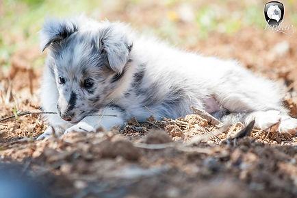 Cachorro biblue merle de shetland sheepdog llamada Azulian Always By My Side