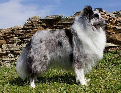CH Driss Bleue du Grand Pré d'Ortignac, Shetland Sheepdog biblue merle propiedad de Azulian