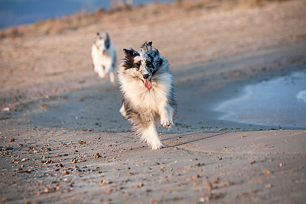 Shetland Sheepdog de Azulian bi blue merle corriendo por la playa