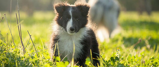 Cachorro de Shetland sheepdog bi black de Azulian