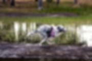 Cachorro de Shetland Sheepdog de Azulian corriendo feliz