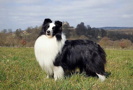 CH G-Star of Desert Meadow, shetland sheepdog de color biblack