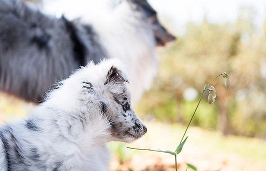 Cachorro y madre de Shetland Sheepdog bi blue merle de Azulian