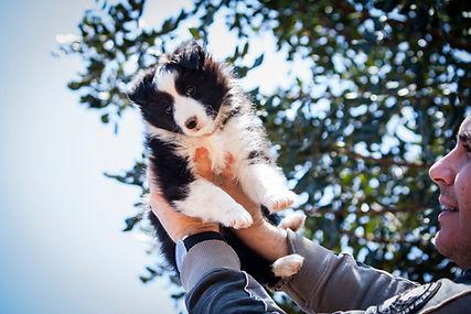 Cachorro de shetland sheepdog de color bi black del afijo azulian