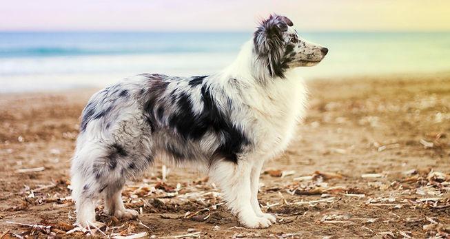 Azulian Alegria Magical Feeling, shetland sheepdog biblue merle propiedad de Azulian