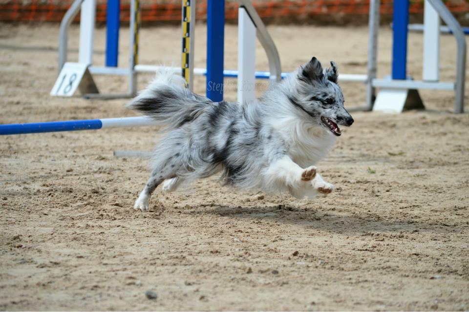 Azulian Always By My Side in agility Photo: Stephie Kowald