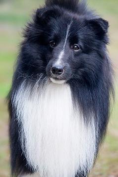 Macho Biblack de Shetland Sheepdog CH Kellcrest Blackjack propiedad de Kennel Caravan