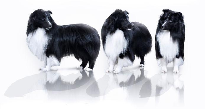 CH Kellcrest Blackjac, Shetland Sheepdog de color biblack