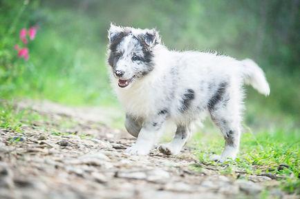 Cachorro Biblue merle de Azulian de Shetland Sheepdog llamado Azulian Always First