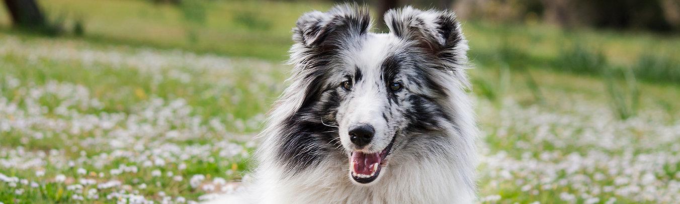 Azulian Alegria Magical Feeling, shetland sheepdog biblue merle de azulian