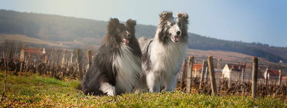 Shetland Sheepdog bi color kennel criador