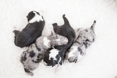 Camada B de shetland sheepdogs de azulian