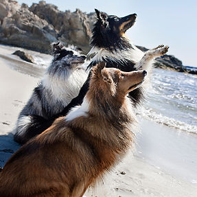 Grupo de Shetland sheepdog de azulian de color bi blue merle, tricolor y sable en la playa