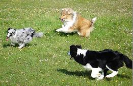azulian shetlad sheepdog rough collie border