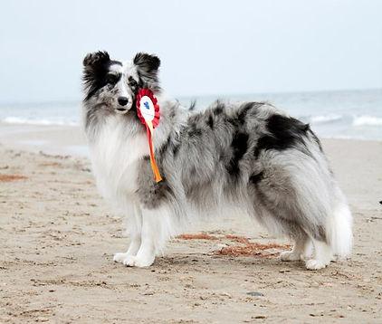 Driss Bleue du Grand Pré d'ortignac, shetland sheepdog biblue merle propiedad de Azulian