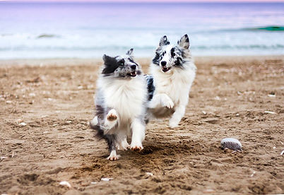 Shetland Sheepdog dogs playing beach azulian