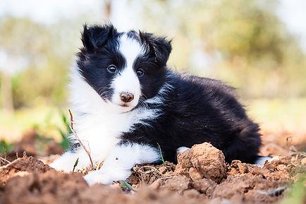 Cachorro biblack de shetland sheepdog de Azulian llamado Azulian All For You