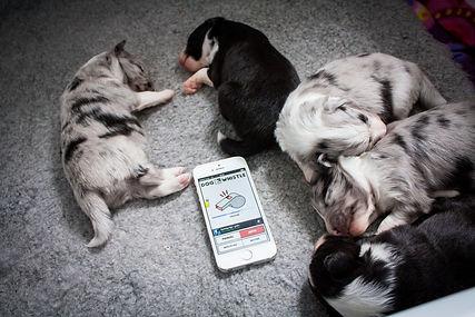 Cachorros de shetland sheepgod bi blue merles y bi blacks del afijo azulian