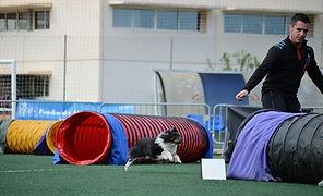 Shetland Sheepdog Tricolor llamada Molly Finish of a Dream des Mille Eclats des Torunesouls