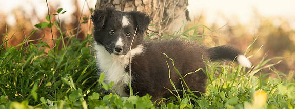 Cachorro bi black de azulian shetland sheepdogs
