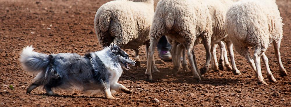 Driss Bleue du Grand Pré d'Ortignac propiedad de Azulian pastoreando ovejas