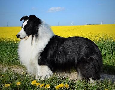 CH G-Star of Desert Meadow, Shetland sheepdog biblack