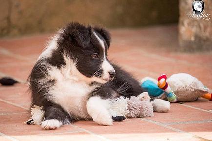 Cachoror biblack de shetland sheepdog llamado Azulian Atomic Twinkle Star