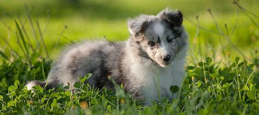 Cachorro bi blue merle de azulian shetland sheepdogs