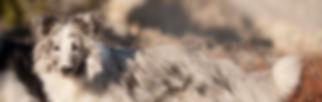 azulian shetland sheepdog