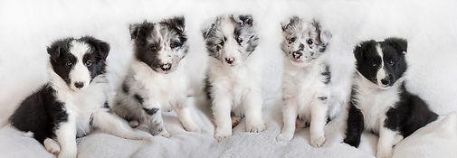 Cachorros Bicolores de Shetland Sheepdog del afijo Azulian